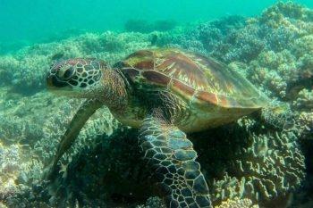 Wasserschildkröte Apo Island