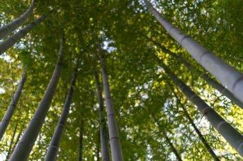 Mini-Bambuswald im Hase-dera in Kamakura