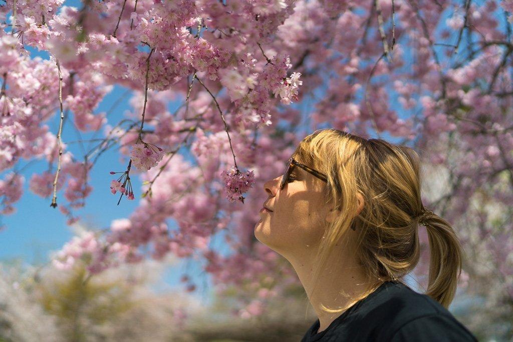 Kirschblüten in Nara