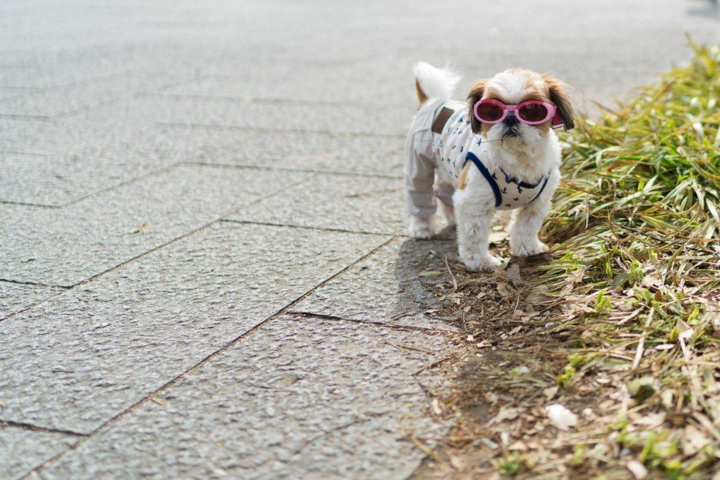 Cooler Hund im Park vor der Osaka Burg
