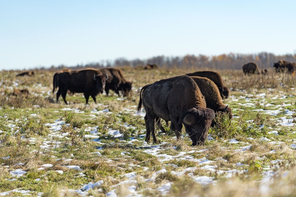 Bisons, Elk Island