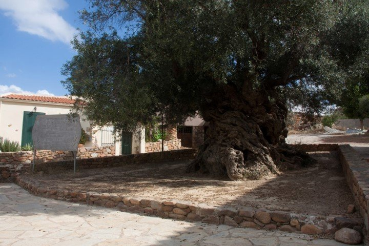 Ältester Olivenbaum Kreta