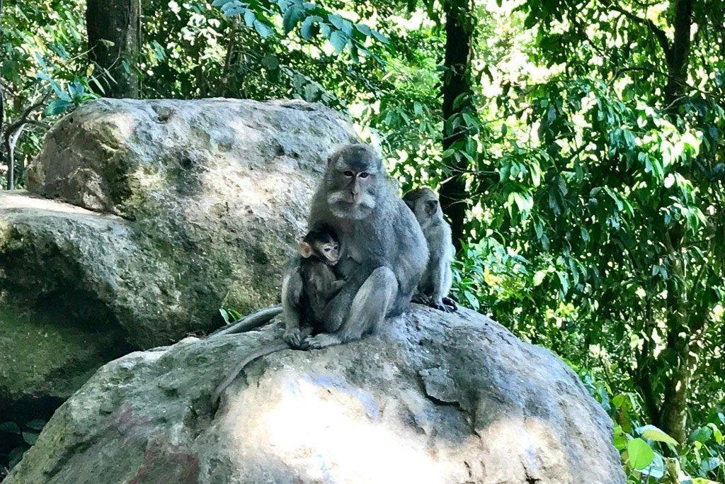 Lombok Affenbabys
