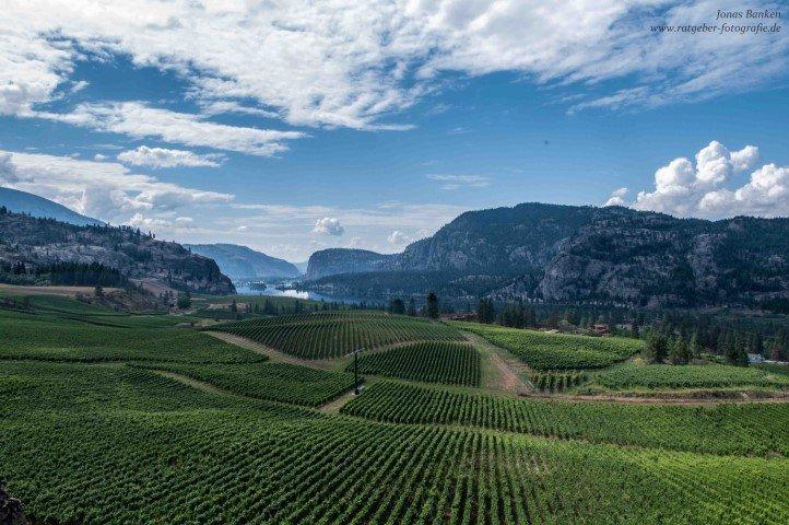 Weinstöcke am Okanagan Lake