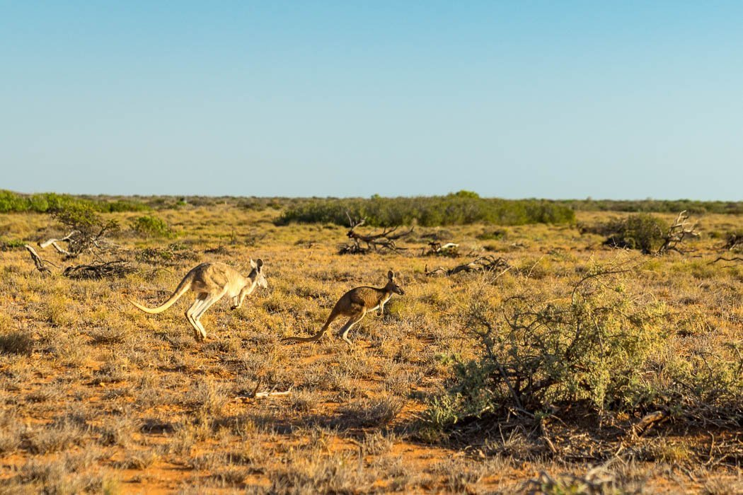 Kangaroos im Cape Range Nationalpark