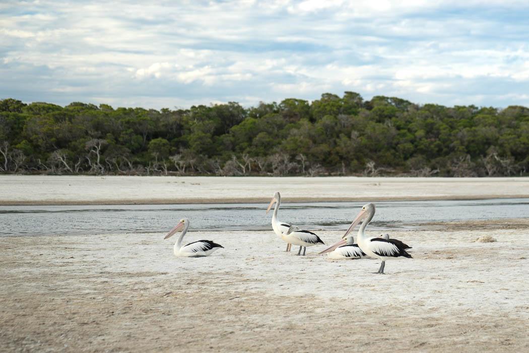 Pelikane in Bremer Bay