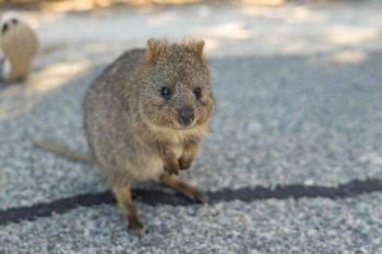 Rottnest Island: Von niedlichen Quokkas und waghalsigen Sprüngen