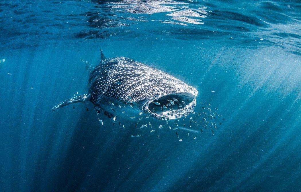 Schwimmen mit Walhaien