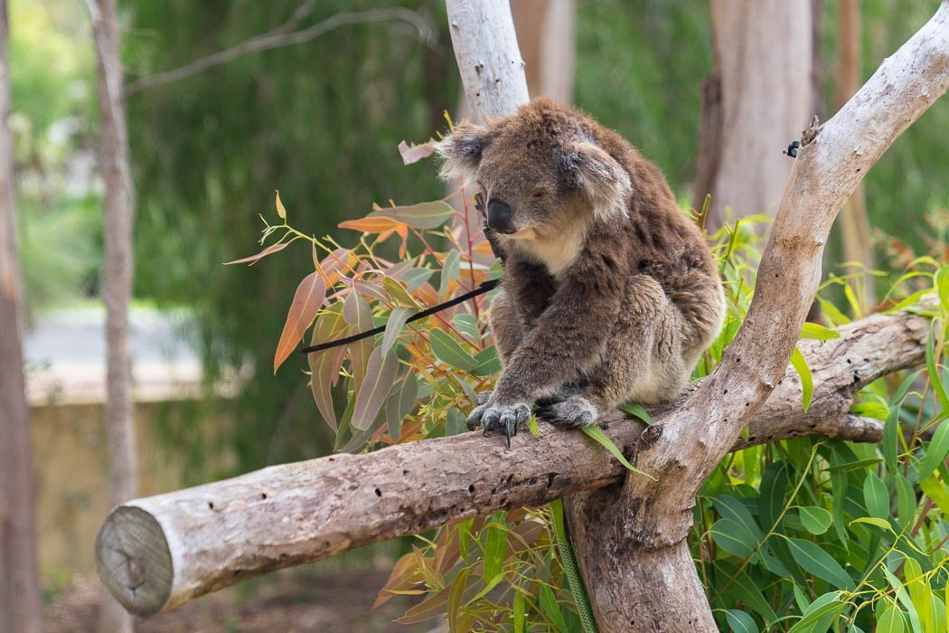Yanchep Koala Boardwalk