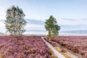 Heideblüte Surhorn