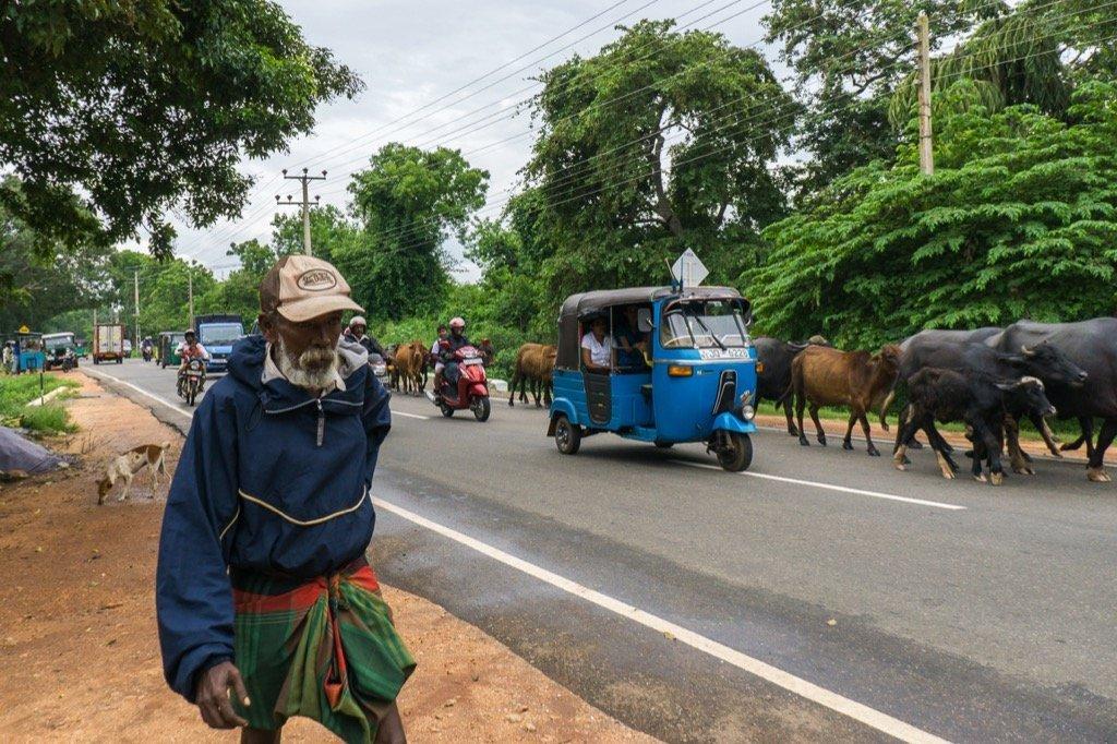Bullenherde Anuradhapura