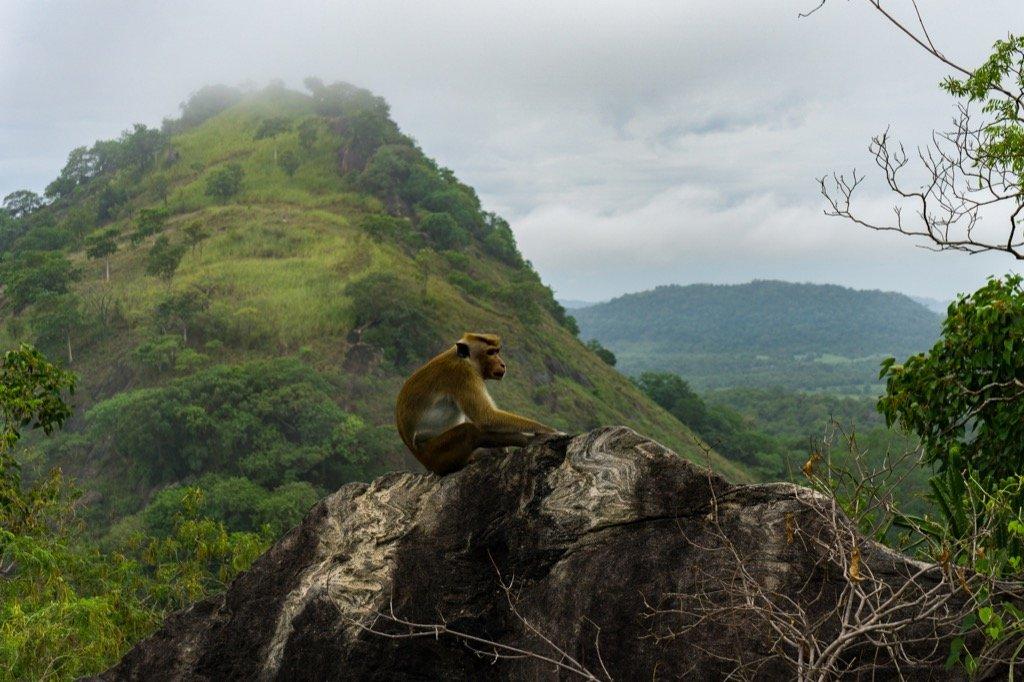 Affen Sri Lanka