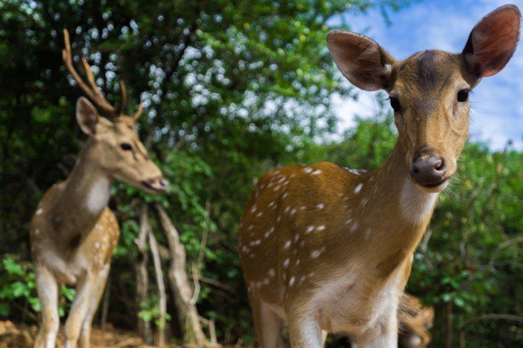 Die Rehe und Hirsche von Trincomalee