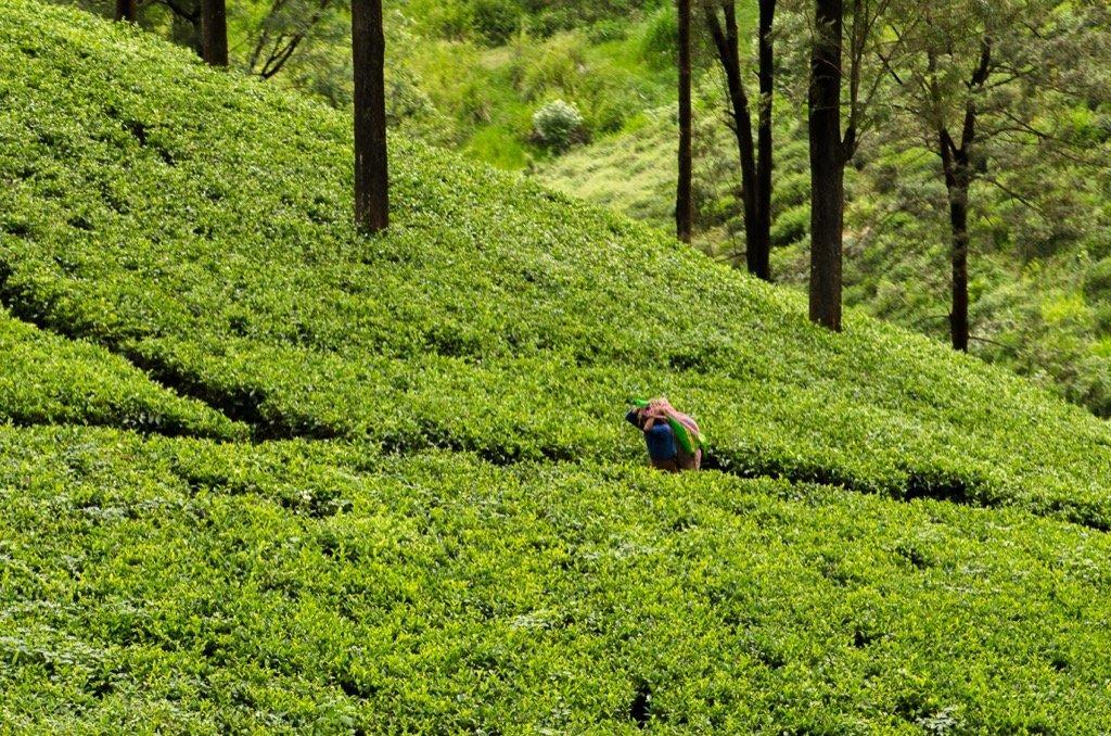 Teeplantagen Zugfahrt Sri Lanka